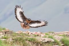 Atterrissage de buse de chacal sur la montagne rocheuse en vent violent Photographie stock
