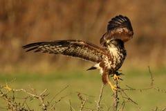 Atterrissage de Buzzard Photographie stock libre de droits