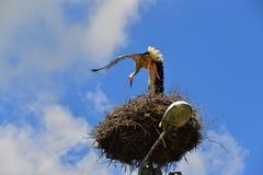 Atterrissage de cigogne blanche images stock