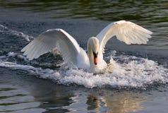 Atterrissage de cygne sur un lac Image libre de droits
