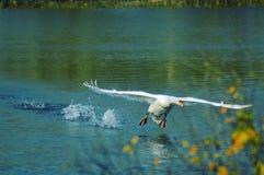 Atterrissage de cygne de vol sur un lac Photos libres de droits
