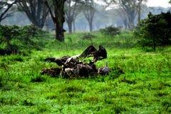 Atterrissage de Griffon dans des vautours de bande au Kenya africain Photographie stock
