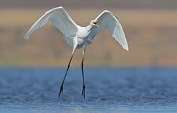 Atterrissage de héron de grand blanc avec des cris perçants Photo stock