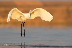 Atterrissage de héron de grand blanc le début de la matinée de l'eau Photos stock
