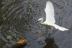 Atterrissage de héron de Milou sur un rondin submergé, la Floride Image libre de droits