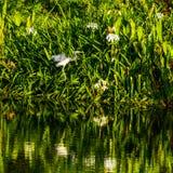 Atterrissage de héron de Tricolored dans un marais de la Floride images libres de droits