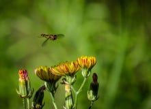 Atterrissage de Hoverfly Photo libre de droits