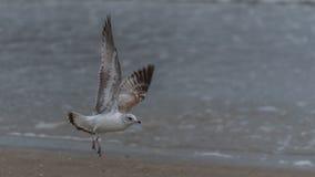 Atterrissage de mouette avec la mer à l'arrière-plan Photographie stock libre de droits