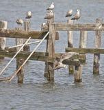 Atterrissage de mouette de mer dans l'eau de marée de la Virginie Image libre de droits