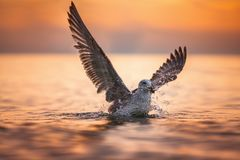 Atterrissage de mouette en mer au lever de soleil photographie stock