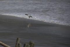 Atterrissage de mouette sur la plage photographie stock libre de droits