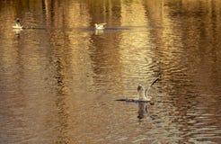 Atterrissage de mouette sur le lac de l'eau photo stock