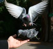 Atterrissage de pigeon Photo stock