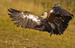 Atterrissage de vautour de Griffon au sol photographie stock libre de droits