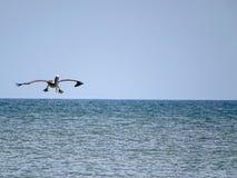 Atterrissage drôle de pélican sur l'eau bleue d'océan Photo libre de droits