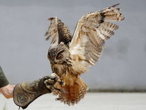 Atterrissage Eagle Owl (bubo de Bubo) Photo stock