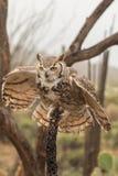 Atterrissage grand de hibou à cornes Image libre de droits