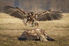 Atterrissage juvénile d'aigle coupé la queue par blanc Photo stock