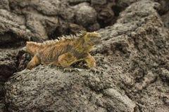 Atterrissez l'iguane Photo libre de droits