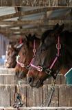 Attesa dei cavalli di corsa Immagini Stock Libere da Diritti