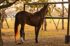 Attesa dei cavallini di polo Fotografia Stock Libera da Diritti