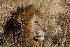 Attesa del leone di LMale Immagine Stock Libera da Diritti