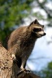 Attesa del Raccoon Fotografie Stock