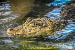 Attesa dell'alligatore Immagine Stock