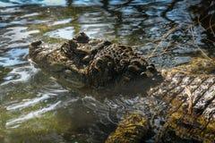 Attesa dell'alligatore Fotografia Stock