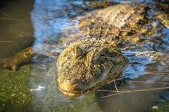 Attesa dell'alligatore Immagini Stock Libere da Diritti