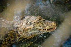 Attesa dell'alligatore Fotografia Stock Libera da Diritti