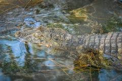 Attesa dell'alligatore Immagini Stock