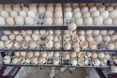 Attesa dell'uovo sopportata in azienda agricola Immagini Stock Libere da Diritti