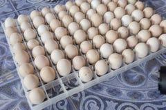Attesa dell'uovo sopportata in azienda agricola Immagini Stock