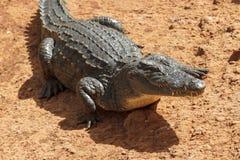 Attesa selvaggia dell'alligatore Fotografia Stock Libera da Diritti