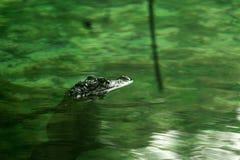 Attese di un alligatore del bambino Immagine Stock Libera da Diritti