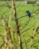 Atthis Alcedo евроазиатского kingfisher Стоковые Фото