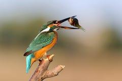 Atthis Alcedo Kingfisher сидя на ручке с добычей в клюве Стоковая Фотография RF