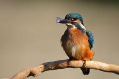 Atthis Alcedo Kingfisher сидя на ручке с пером в своем клюве Стоковые Фото
