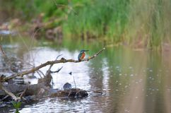 Atthis communs d'Alcedo de martin-pêcheur dans son habitat naturel photographie stock libre de droits