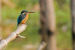 Atthis comuns do Alcedo do martinho pescatore que sentam-se no ramo de árvore Foto de Stock