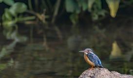 Atthis d'Alcedo ou le martin-pêcheur bleu commun sur une roche images stock