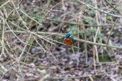 Atthis die van ijsvogelalcedo vissen in neergestreken op de takken van de de winterboom jagen Vroege tekens van de lente met somm royalty-vrije stock fotografie
