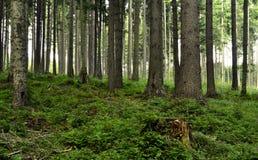 Attilli la foresta Fotografia Stock Libera da Diritti
