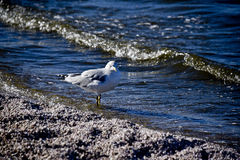 Shore Bird with Attitude Royalty Free Stock Photos