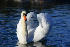 The swan ttitude To Camera stock image