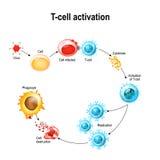 Attivazione dei leucociti a cellula T royalty illustrazione gratis