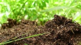 Attività della formica-hiilock di lasso di tempo nel fondo verde video d archivio