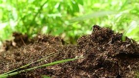 Attività della formica-hiilock nel fondo verde video d archivio