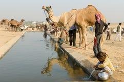 Attività di primo mattino dell'acqua potabile dei cammelli alla fiera del cammello di Pushkar, Ragiastan, India Immagini Stock
